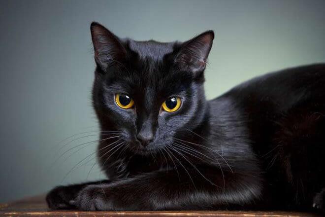 Mèo đen vào nhà có phải là điềm xui như chúng ta thường nghĩ?