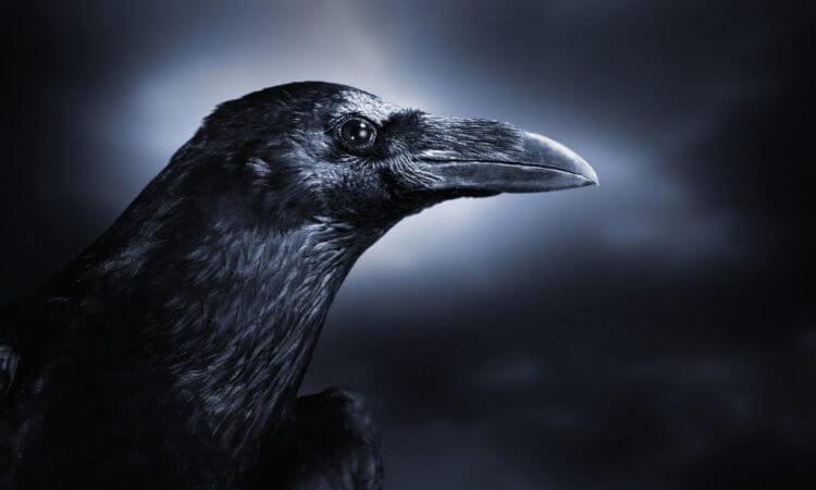 Mơ thấy quạ đen có phải điềm xui xẻo?
