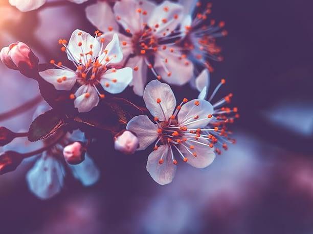 Nằm mơ thấy hoa nở có ý nghĩa gì?