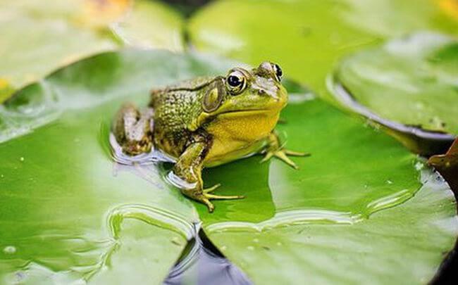 Con ếch xuất hiện trong giấc mơ có ý nghĩa như thế nào?
