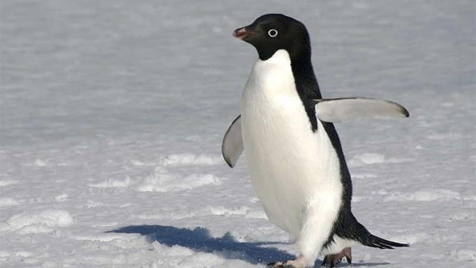 Giải mã giấc mơ thấy chim cánh cụt. Ý nghĩa của giấc mơ?